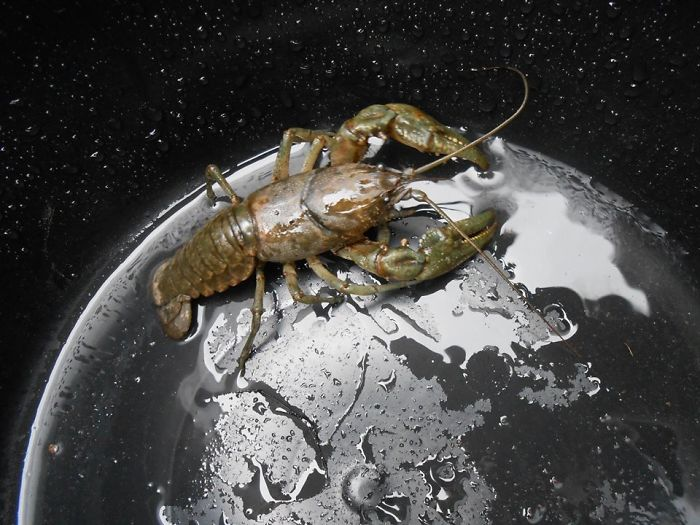 Lobster In A Bucket Looks Like A Gigantic Monster On A Metallic Planet, And The Waterdrops Look Like Stars