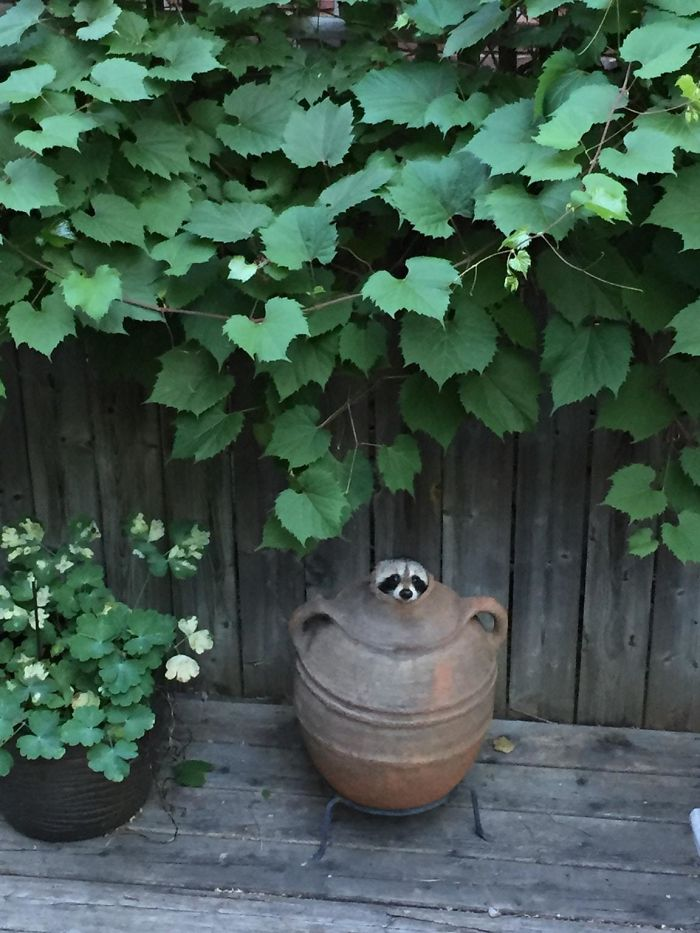 Cute Raccoon