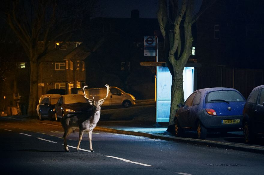 Deer, London, Uk