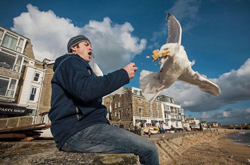 Herring Gull, Cornwall, Uk