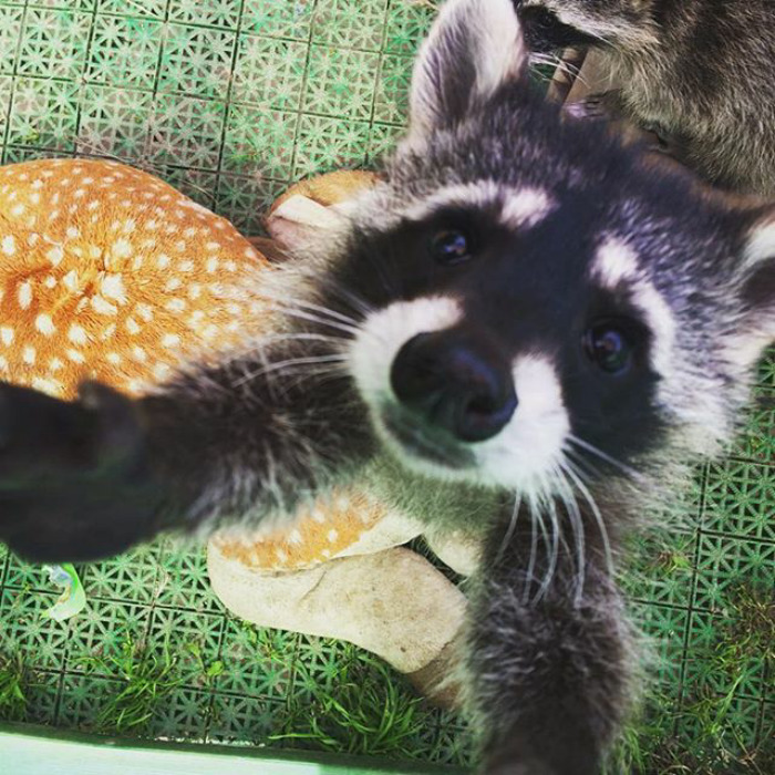 Adorable-cute-raccoons