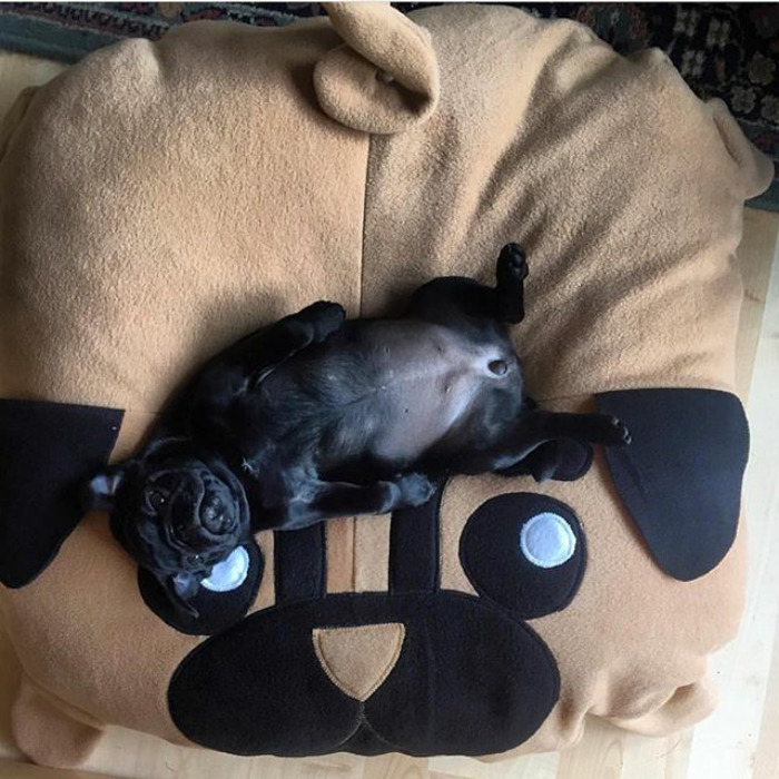 These Two Pugs Have The Hardest Job...