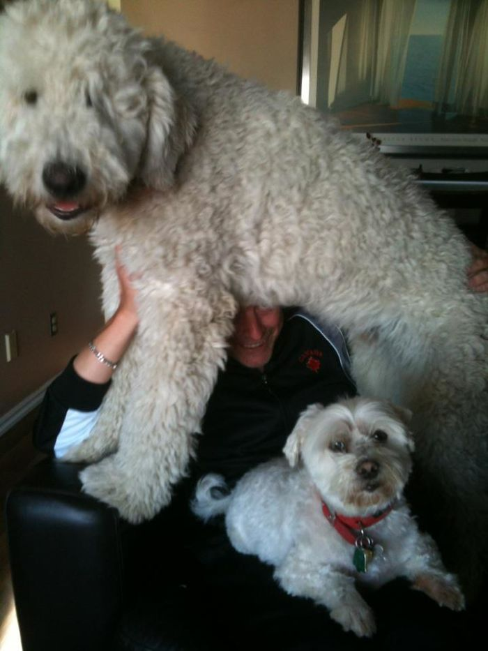Monty, The Komondor Hanging Out With His Dad And Brother Enzo.