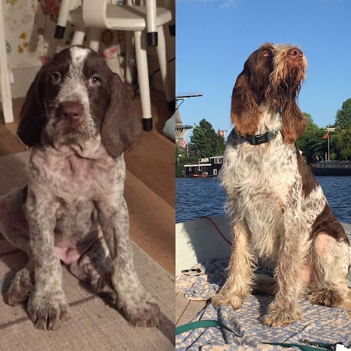 Sam The Spinone At 8 Weeks And 2,5 Years