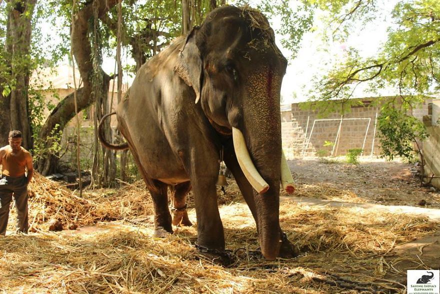 Elephant, Who Was Abused For 50 Years And Lived In Chains, Is
