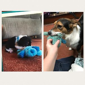 Whiskey 6 Weeks Vs. 2 Years With The Same Toy!