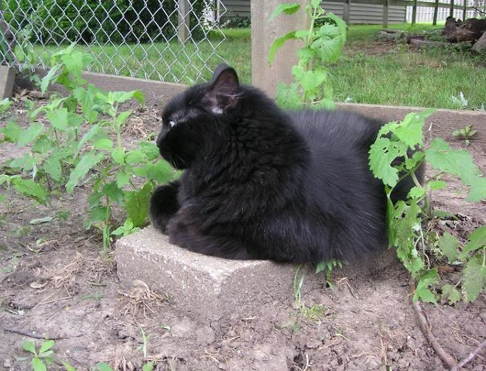 Eclipse Guards The Young Catnip Plants. It's All His.