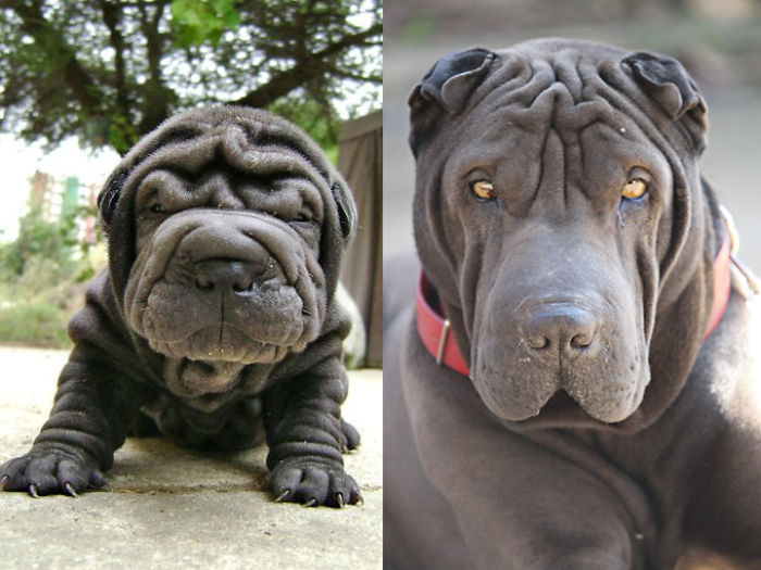 Once A Wrinkled Puppy, Always A Wrinkled Dog