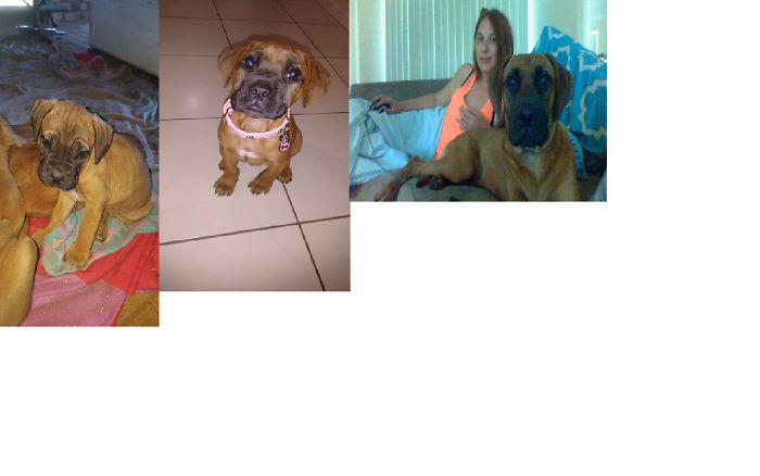 From 2kg To 32kg In 9 Months American Bulldog X Rhodesian Ridgeback