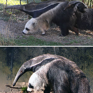 The Leg Of This Anteater Looks Like A Panda