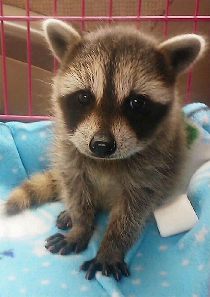 cute raccoon adorable cutest qui plus raccoons laveurs ratons mignons animaux prouvent monde funny sont du racoon ever ils qu