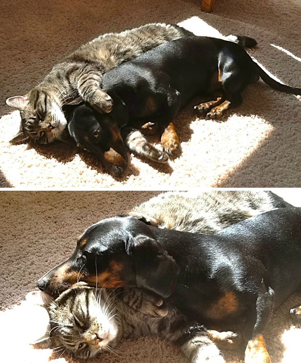 Found My Cat And Dachshund Cuddling Together In The Sun