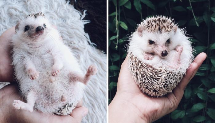 Meet Pokey, My First Hedgehog Pet