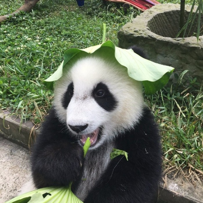 Hey Bored Pandas, Let Me Tell You How The Real Panda Babies Escape From The Blaze Of The Hot Sun
