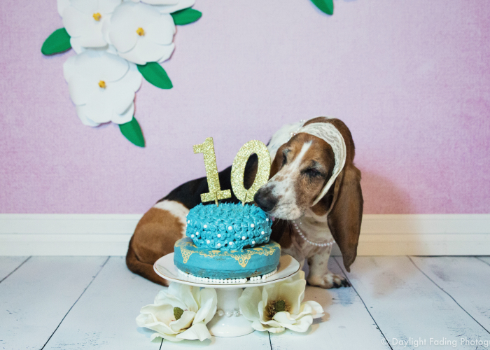 I Gave My Basset Hound A Cake For Her 10th Birthday… And She Smashed It!