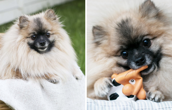 Meet Poly, The Cutest Kleinspitz On Instagram