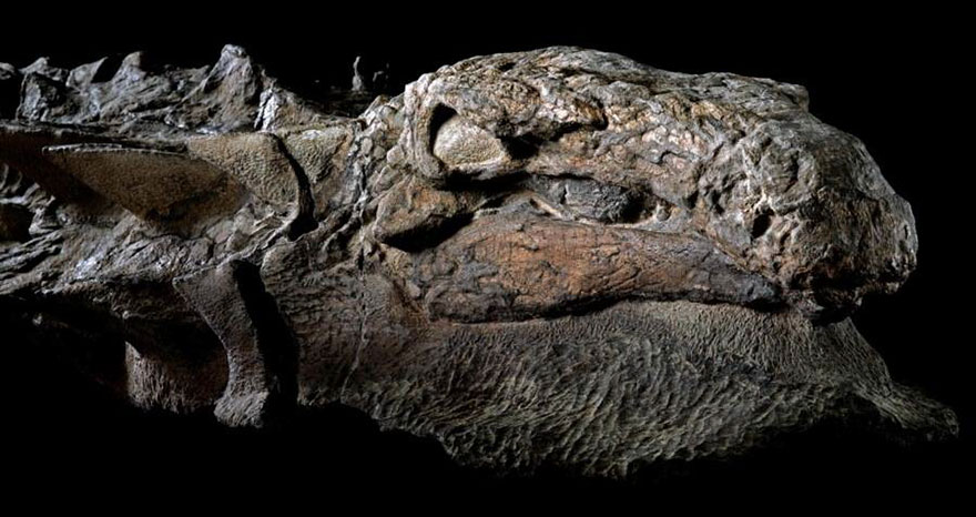 dinosaur-nodosaur-fossil-discovery-1