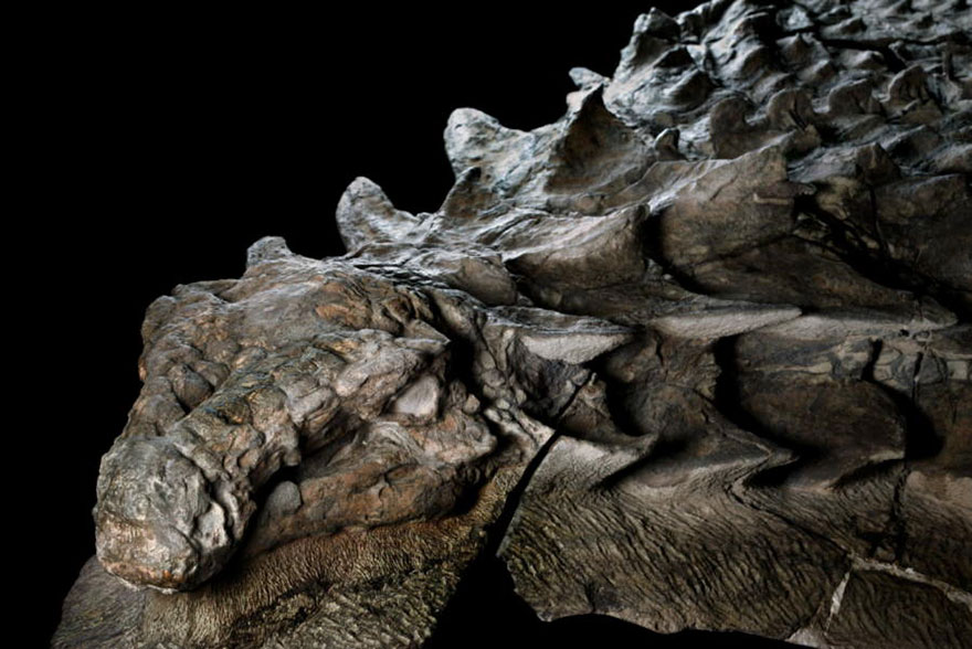Dinosaur-nodosaur-fossil-discovery-2