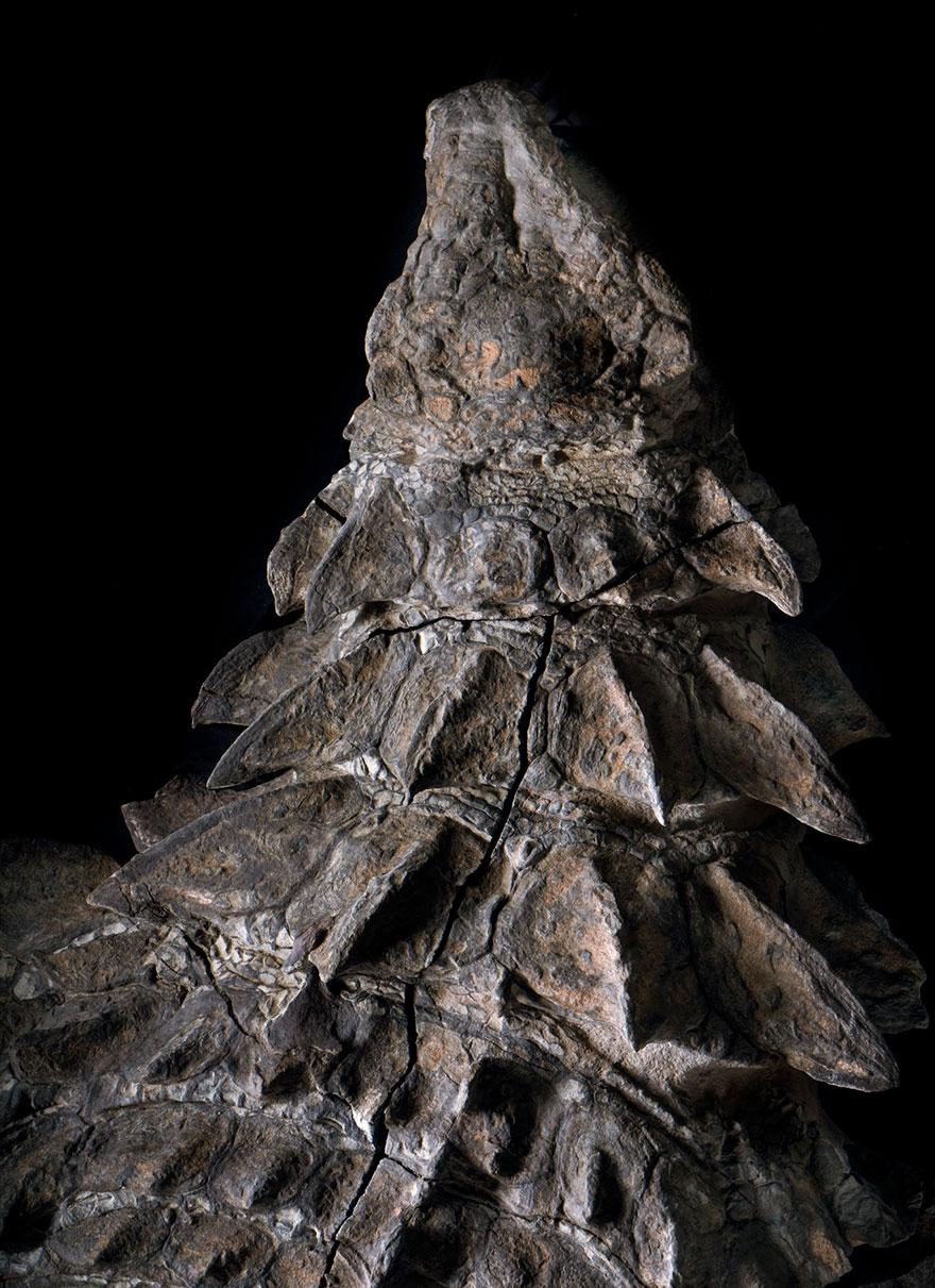 dinosaur-nodosaur-fossil-discovery-3