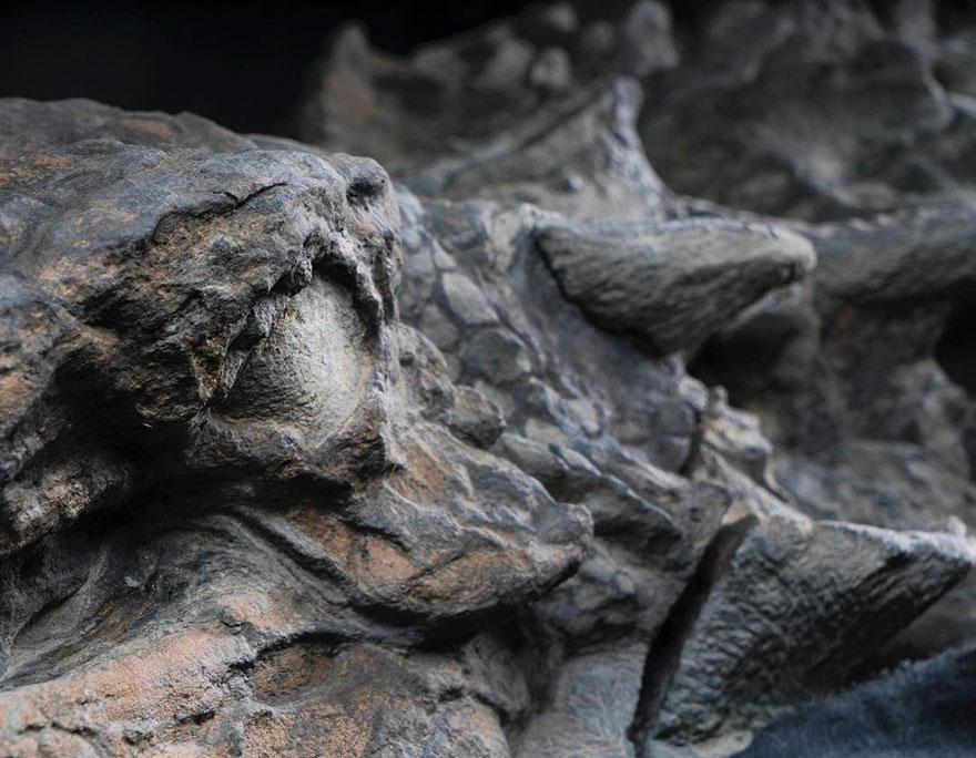 dinosaur-nodosaur-fossil-discovery-4