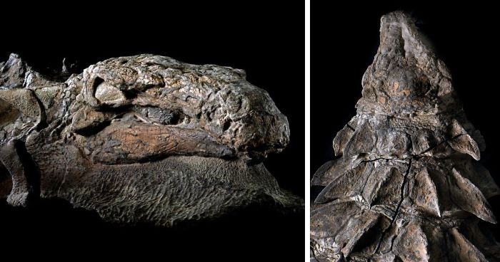 """110 Million-Year-Old Dinosaur 'Mummy"""" Has Been Just Discovered By Mine Workers In Canada"""