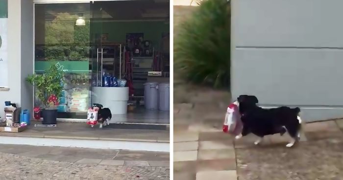 Every Day This Dog Goes Shopping All By Himself, Returns With Bags Full Of Food