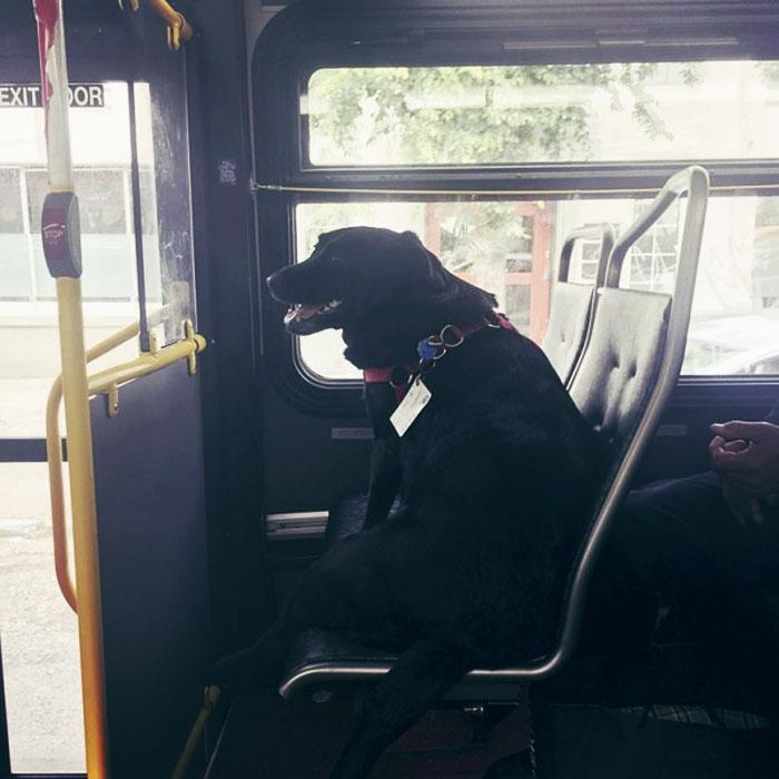 Fotos, Curiosidades, Comunicação, Jornalismo, Marketing, Propaganda, Mídia Interessante dog-rides-bus-seattle-eclipse-5948e1cee5c6f__700 Cachorro pega todos os dias ônibus para ir ao parque Cotidiano Curiosidades  cachorro pega onibus