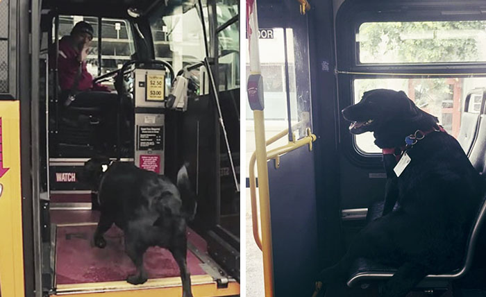 Every Day This Dog Rides The Bus All By Herself To Go To The Park
