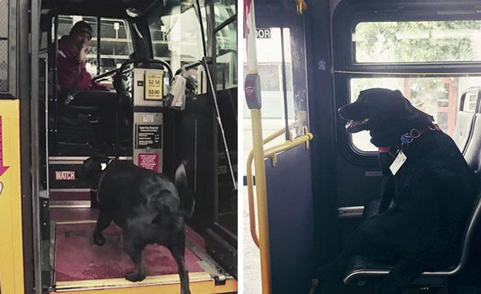 Este perro viaja él solo en autobús cada día para ir al parque