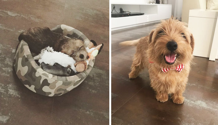 Dante The Norfolk Terrier Then And Now