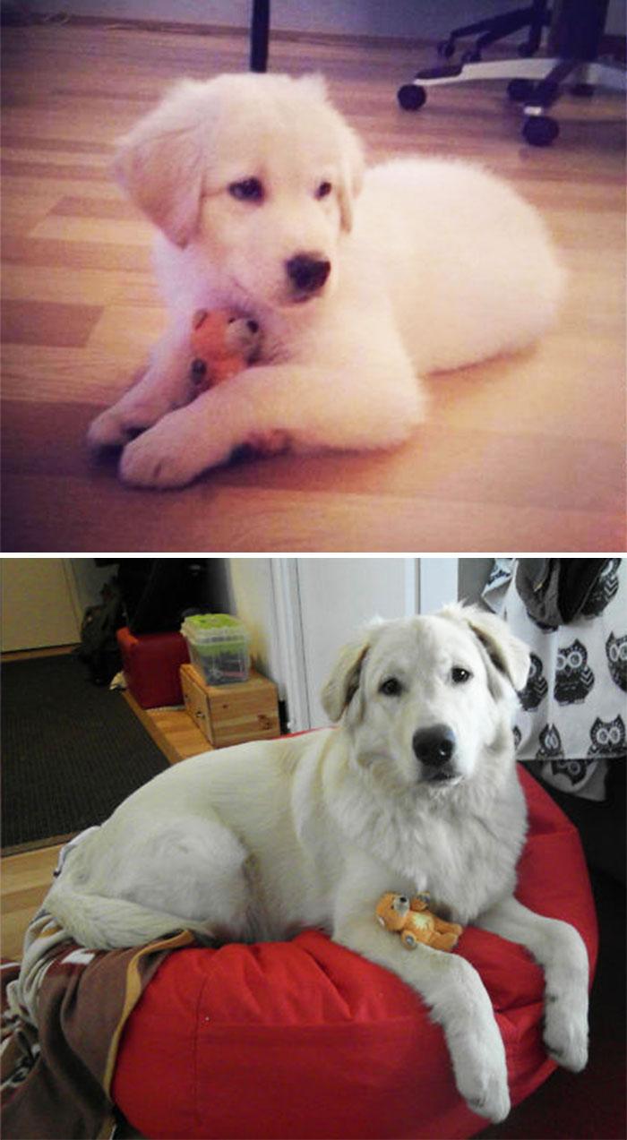 Gako 8 Weeks Vs. 1 Year (Favorite Teddy For Scale)