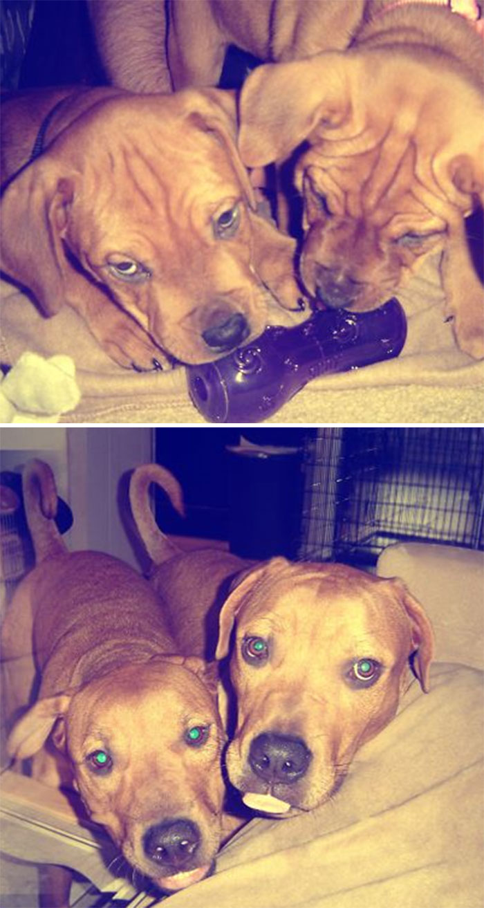 Bella And Her Brother Roscoe. 8 Weeks & 2 Years Old