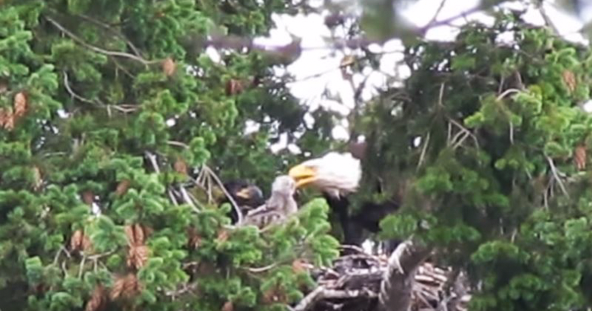 Eagles Bring Baby Hawk Into Their Nest Planning To Eat Him Decide Adopt The Bird Instead Bored Panda