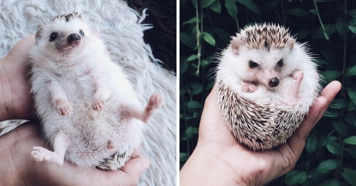 Meet Pokey My First Hedgehog Pet Bored Panda