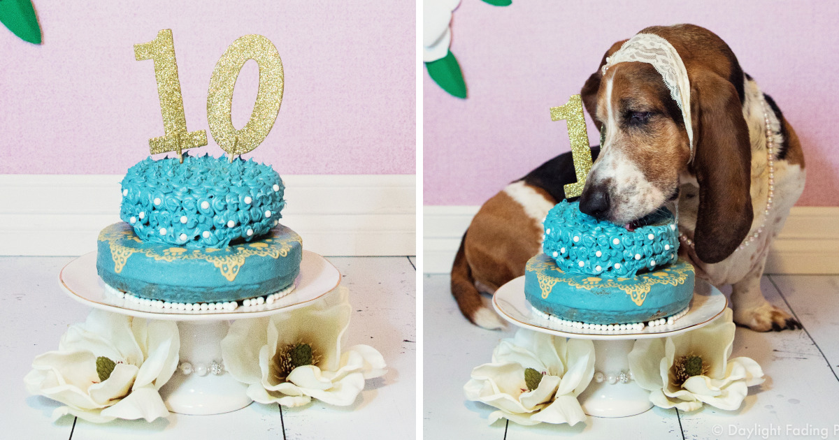 I Gave My Basset Hound A Cake For Her 10th Birthday And