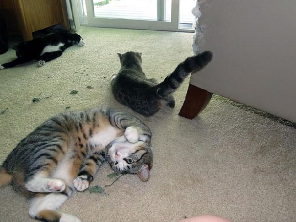 Junkie Cats
