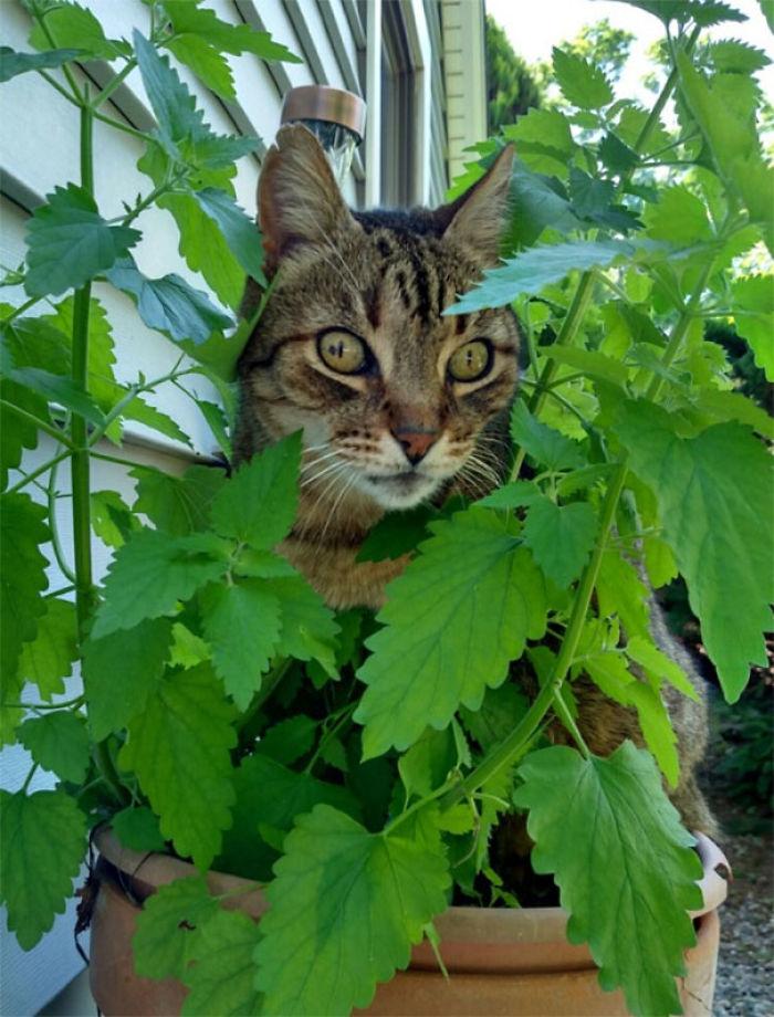 Chewy encontró donde se cultivaba la hierba gatera. Aquí está colgado en la maceta