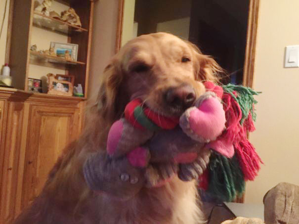 My Mom's Dog Has To Show You All Of Her Toys As Soon As You Get There