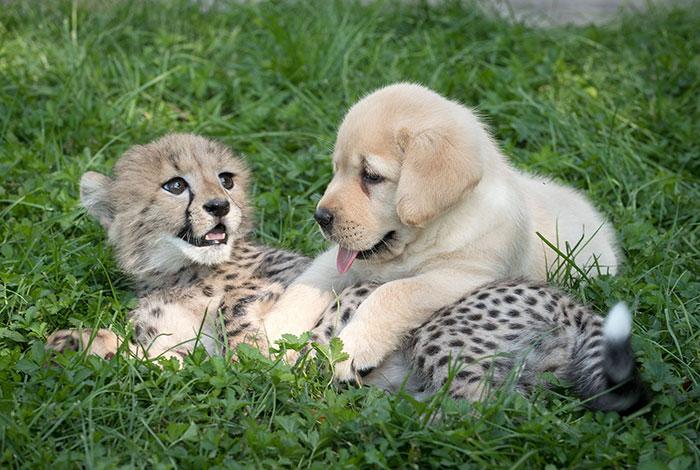 """Los guepardos son tan tímidos que los zoos les proporcionan sus propios perros """"de apoyo emocional"""""""