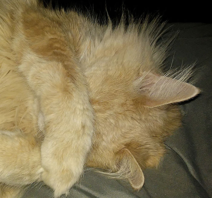 """No More Pictures!!!! Grumpy Maine Coon """"cupcake"""""""