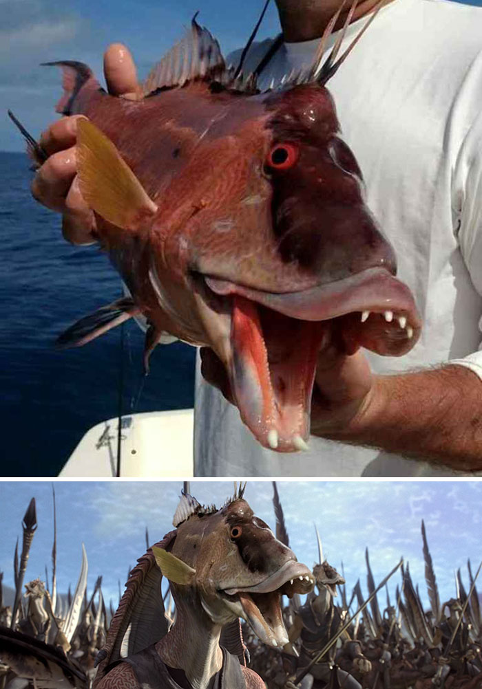 This Newly Caught Hogfish