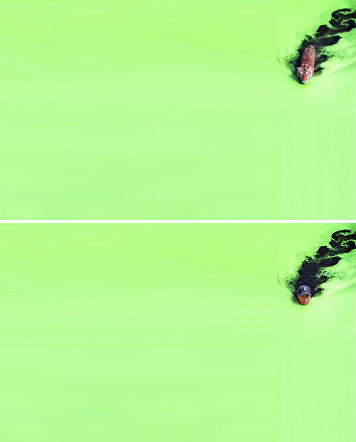 This Tiger Swimming Through Algae