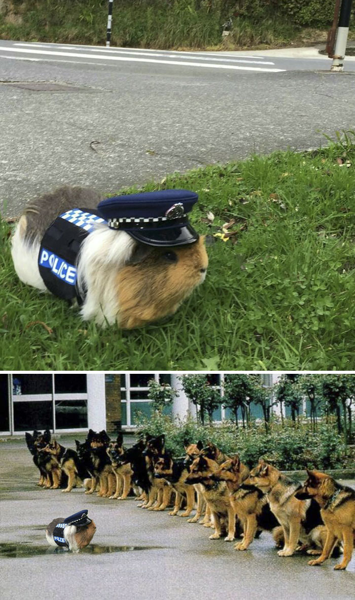 A Guinea Pig Wearing A Police Costume