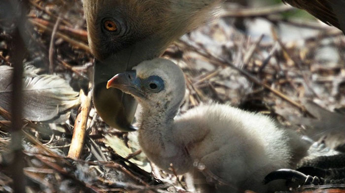 same-sex-gay-vulture-couple-hatch-abandoned-baby-egg-4
