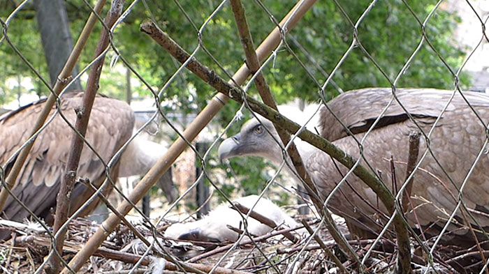 same-sex-gay-vulture-couple-hatch-abandoned-baby-egg-7
