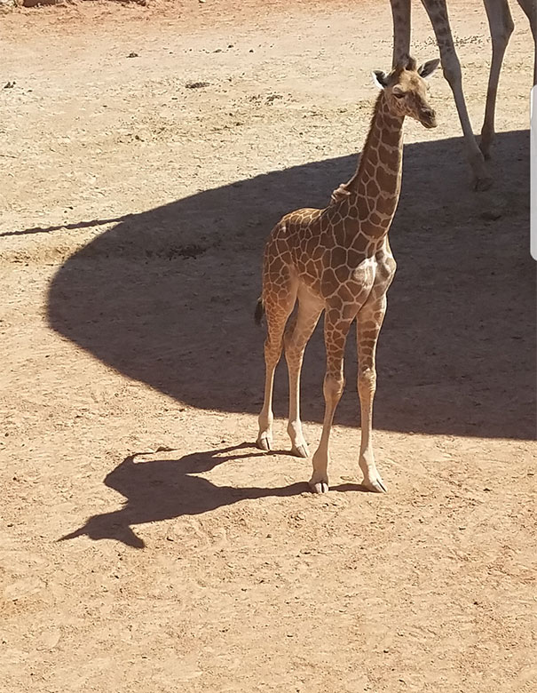 Giraffe's Shadow Looks Like A Unicorn