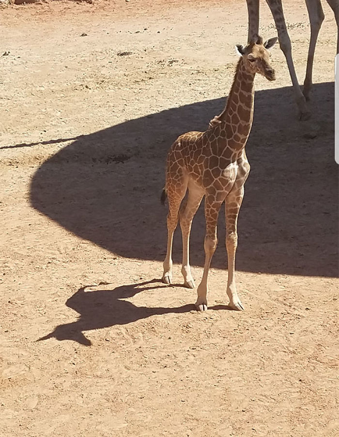 Giraffe's Shadow Looks Like A Unicorn