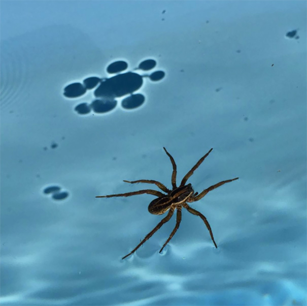 Shadow Of Spider Walking In My Pool Shows Surface Tension