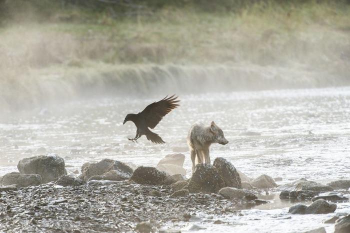 swimming-sea-wolves-pacific-coast-canada-ian-mcallister-1