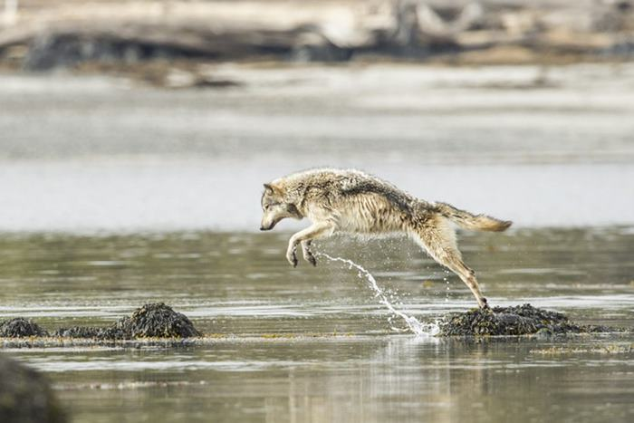 swimming-sea-wolves-pacific-coast-canada-ian-mcallister-11